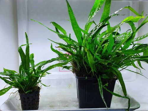 Microsorum minor (thin leaves) XL