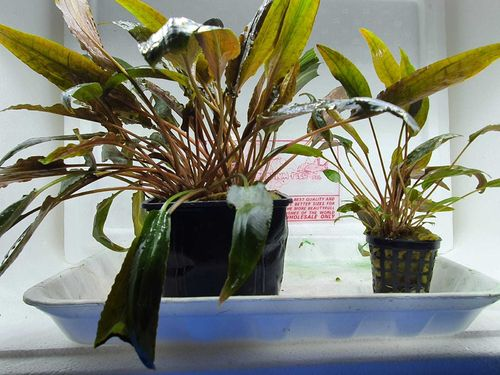 Cryptocoryne species brown XL